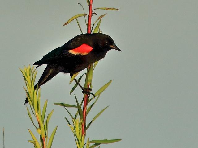 Red-winged Blackbird 02-20200622