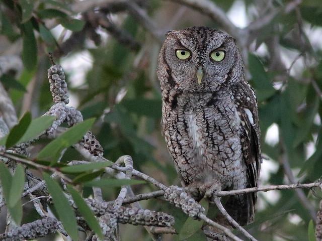 Eastern Screech-Owl 05-20200622