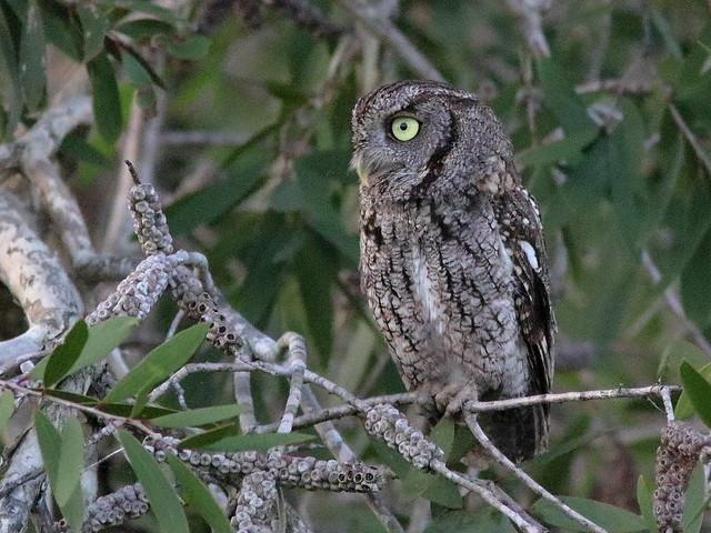 Eastern Screech-Owl 06-20200622