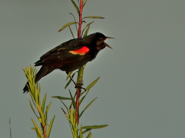 Red-winged Blackbird 04-20200622
