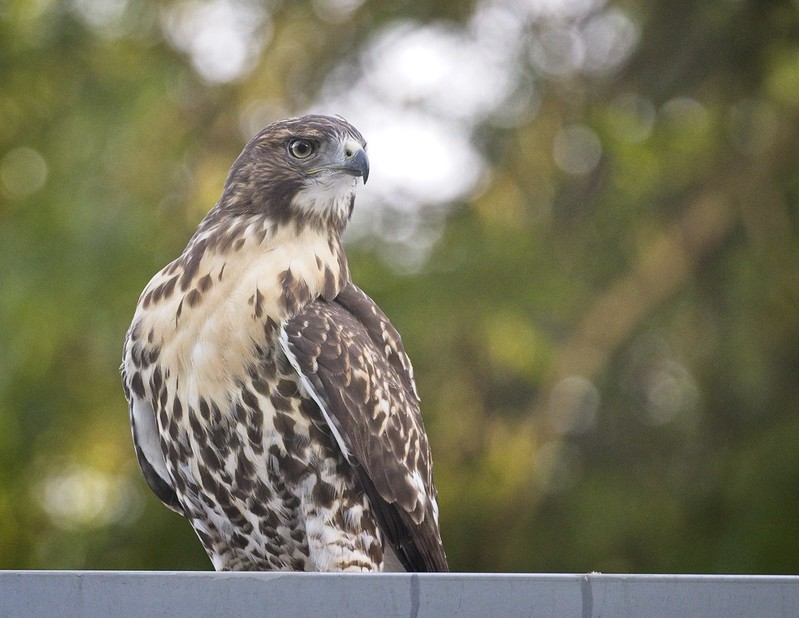 Tompkins red-tail fledgling