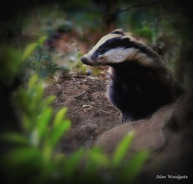 Badger (sow) - Buckinghamshire