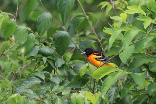 The Oriole | by curious_spider