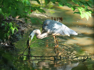 Great Blue Heron (Ardea herodias), June 2020 Second Saturday Bird Walk by Michelle Brosius