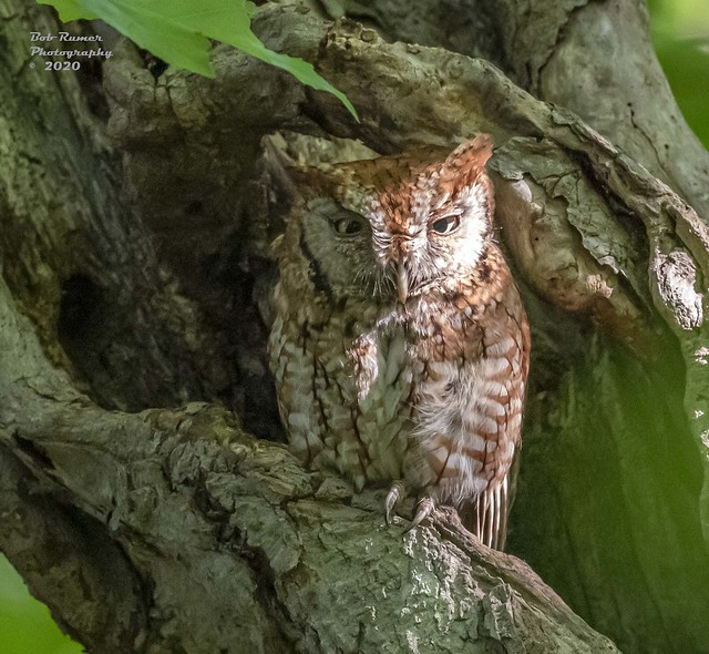 Eastern Screech-owl. Adult Red Morph.