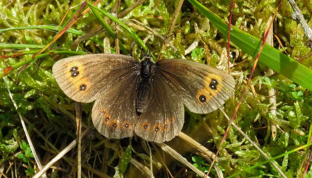 Arran brown (Scottish Highlands)