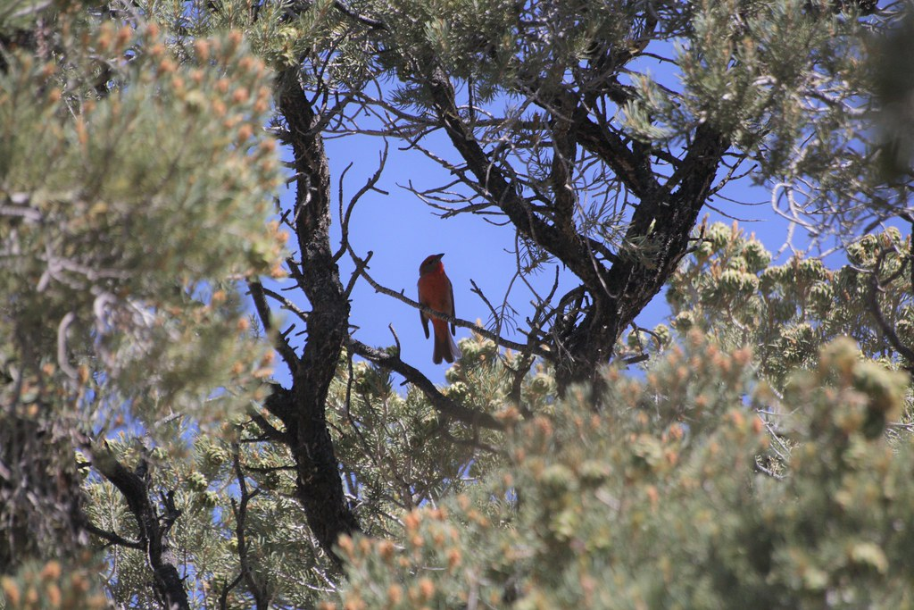 Hepatic Tanager at Smart's Ranch Rd