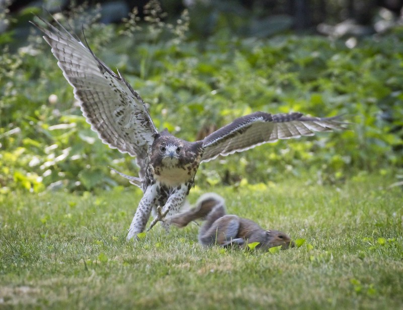 Tompkins red-tail fledgling chases a squirrel