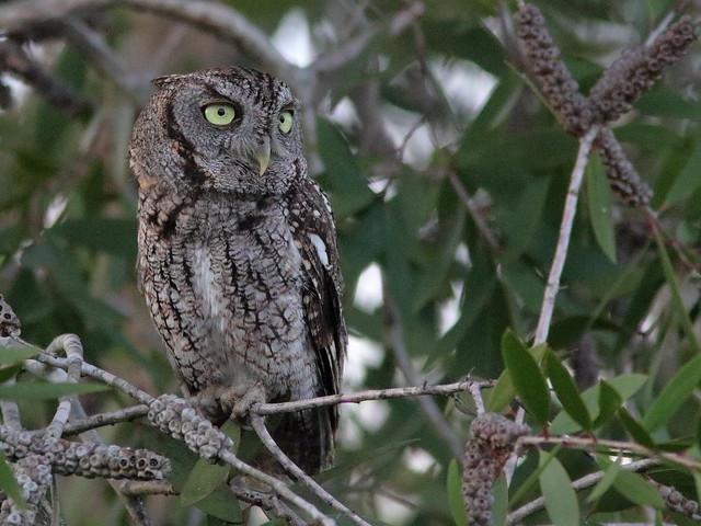 Eastern Screech-Owl 03-20200622