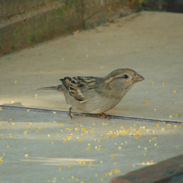 Pardal/House Sparrow