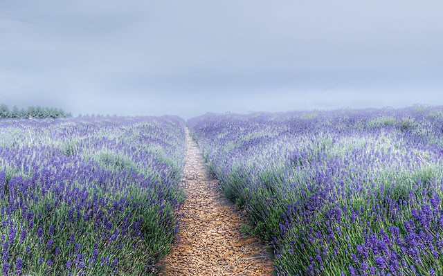 Early morning mist in the lavender field