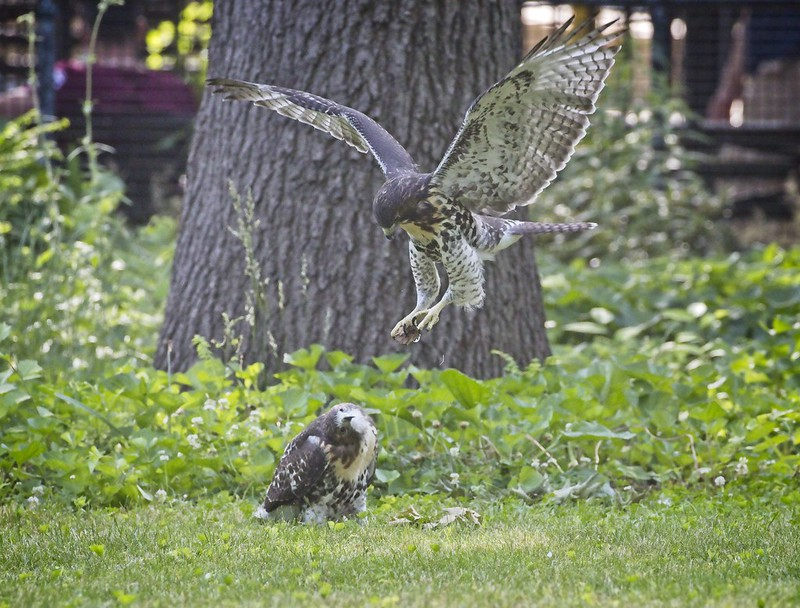 Tompkins Square red-tail fledglings play in the grass