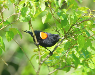 Red-winged Blackbird (Agelaius), June 2020 Second Saturday Bird Walk by Michelle Brosius