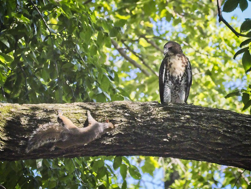 Tompkins red-tail fledgling eyes a squirrel