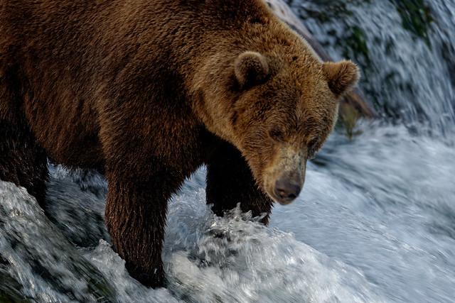 Close-up View of a Brown Bear on Brooks Falls (Katmai National Park & Preserve)