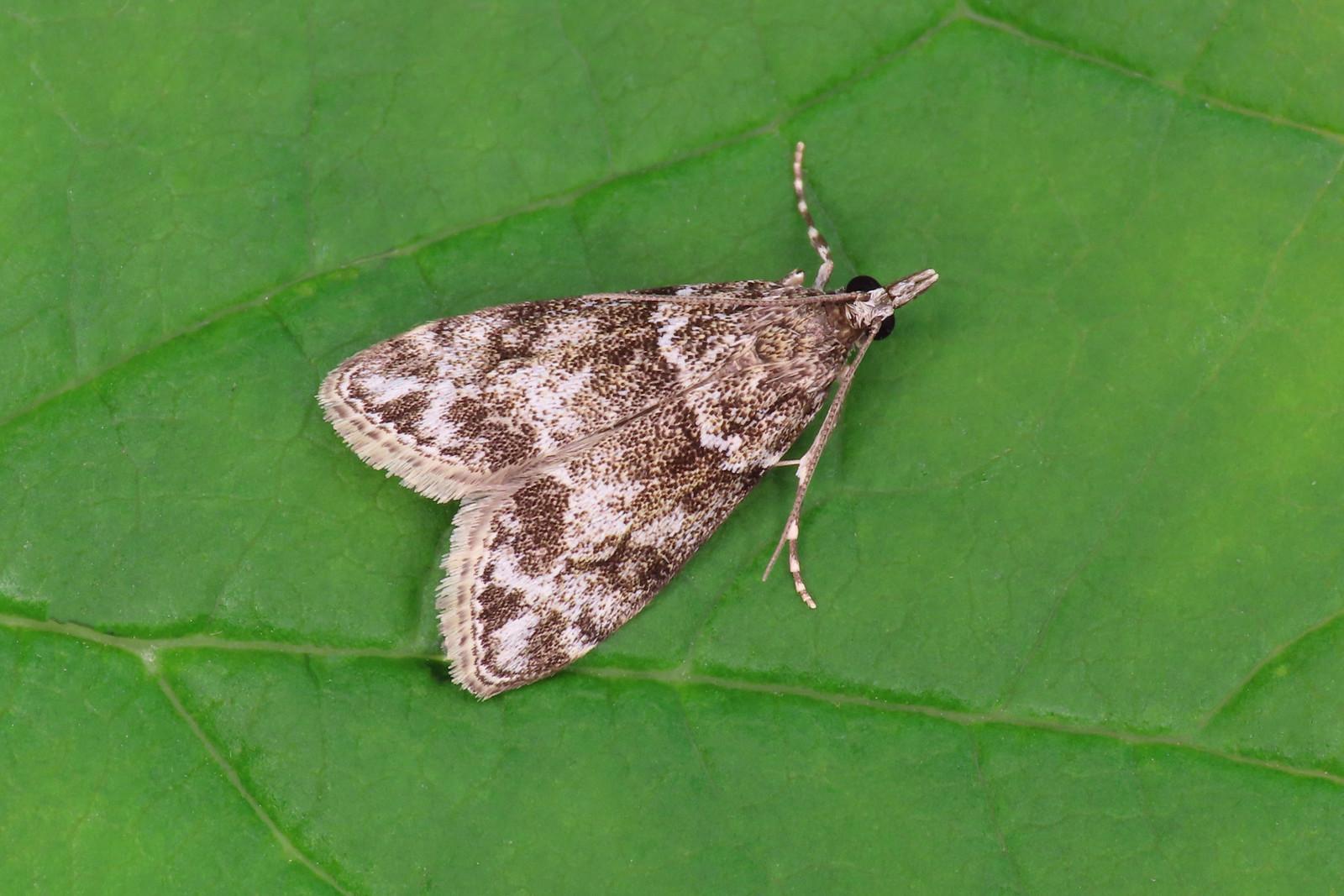 63.074 Small Grey - Eudonia mercurella