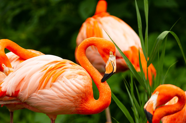 Pink Flamingos - Toronto Zoo