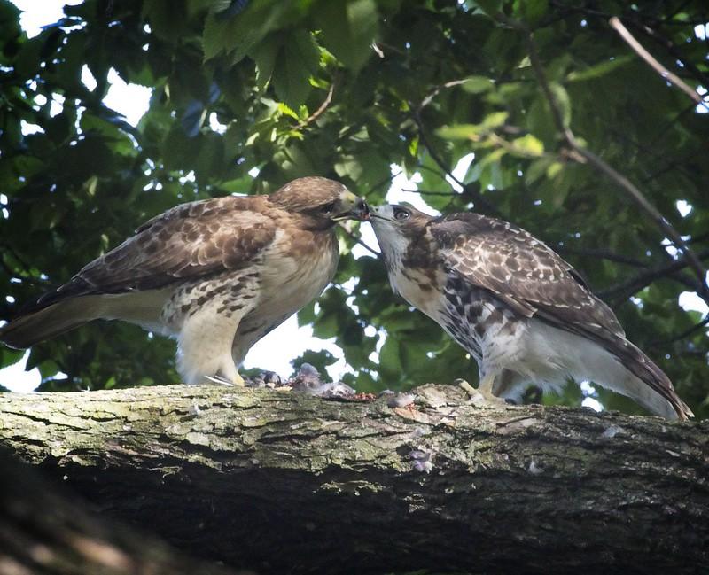 Amelia feeds one of her kids
