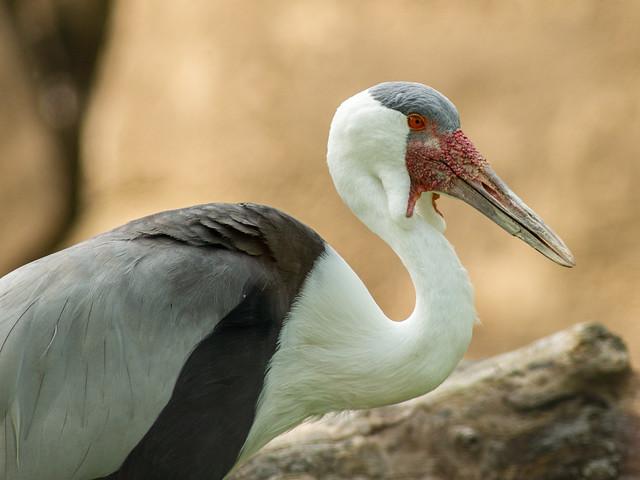 Wattled Crane - Toronto Zoo