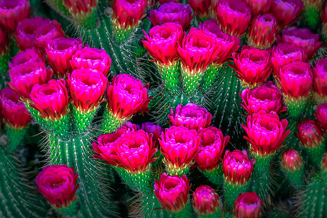 Blooming Strawberry Cactus