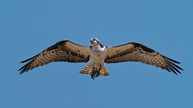 Osprey 198