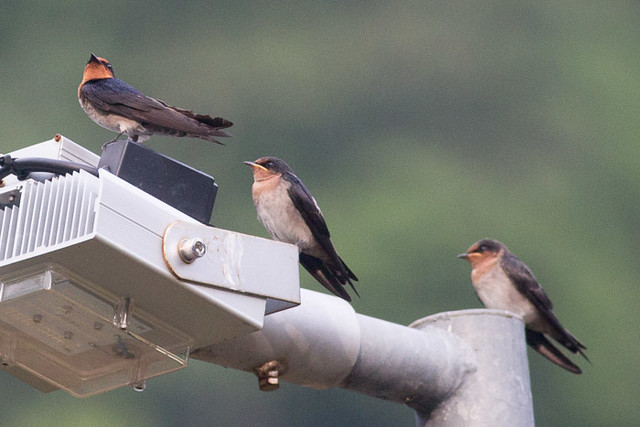 Pacific Swallow  with two chicks