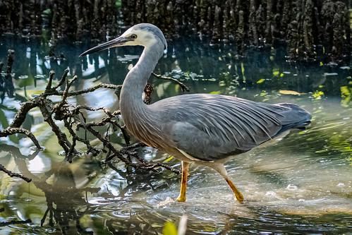 animal bird heron wader waterbird whitefacedheron egrettanovaehollandiae mangroves swamp coastal moretonbay wynnummangroveboardwalk breedingplumage mostwidespreadnumerous