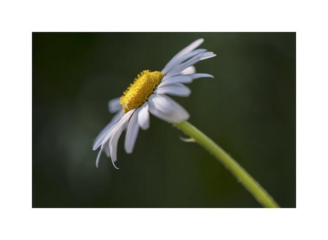 An Oxeye Daisy..