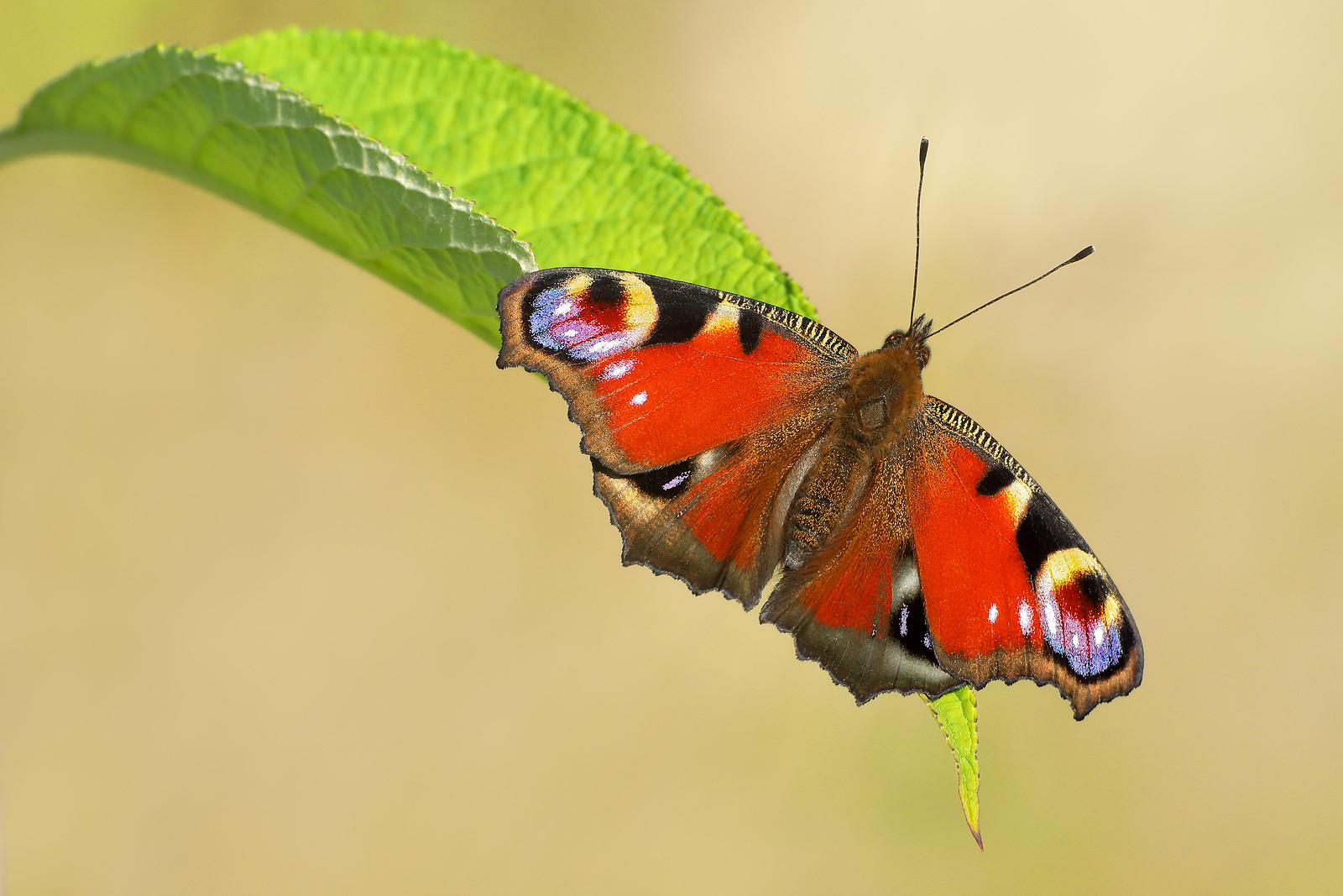 Peacock Butterfly, South Downs