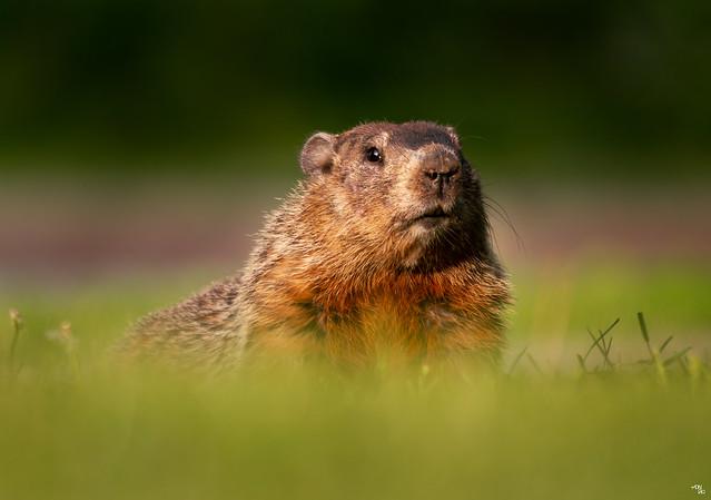 Groundhog - Marmota monax