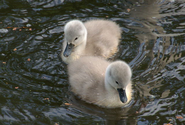 Cute baby swans - a photo on Flickriver