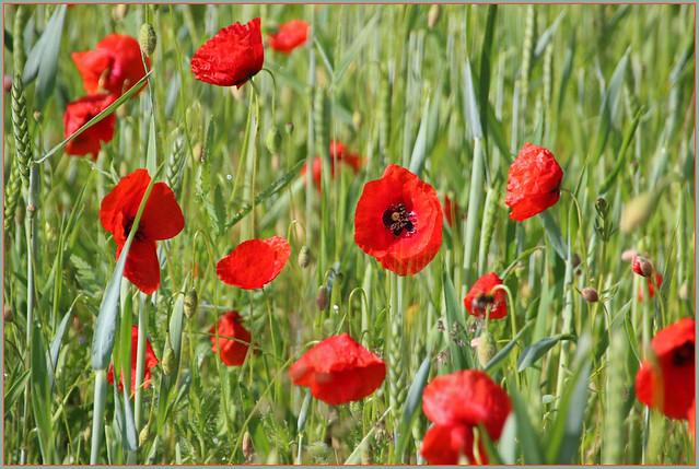 Mohnblumen / Poppies