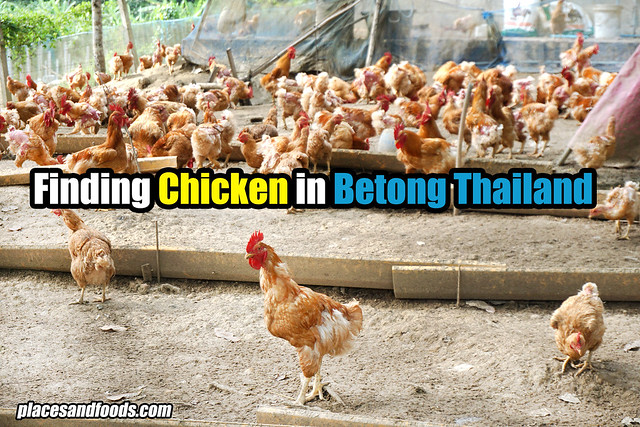 finding chicken in betong thailand