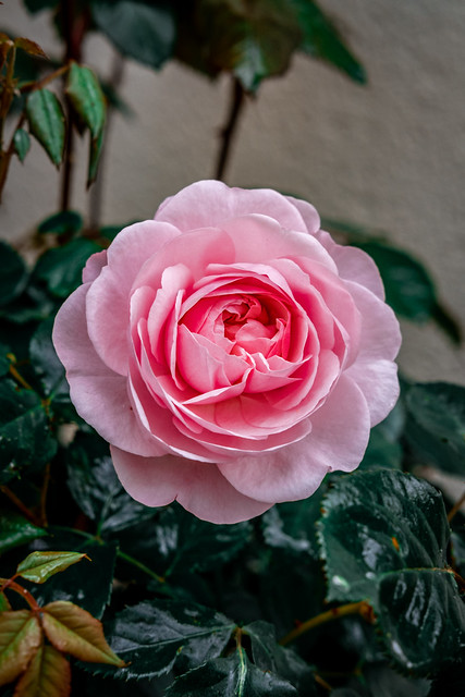 Olivia's Rose.....(Crazy Tuesday! - Two Colours)