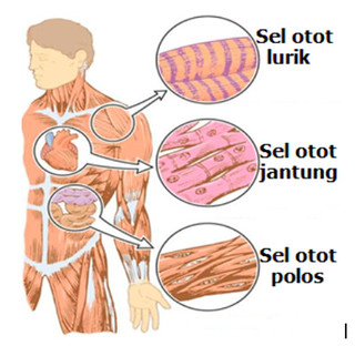 Alat Gerak Aktif Pada Sistem Tubuh Manusia Normal Kelas Pintar