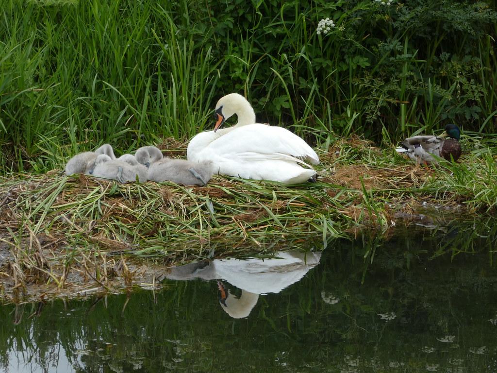 Swan and cygnets, Odiham, Basingstoke Canal