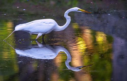 Fishing Egret_6617