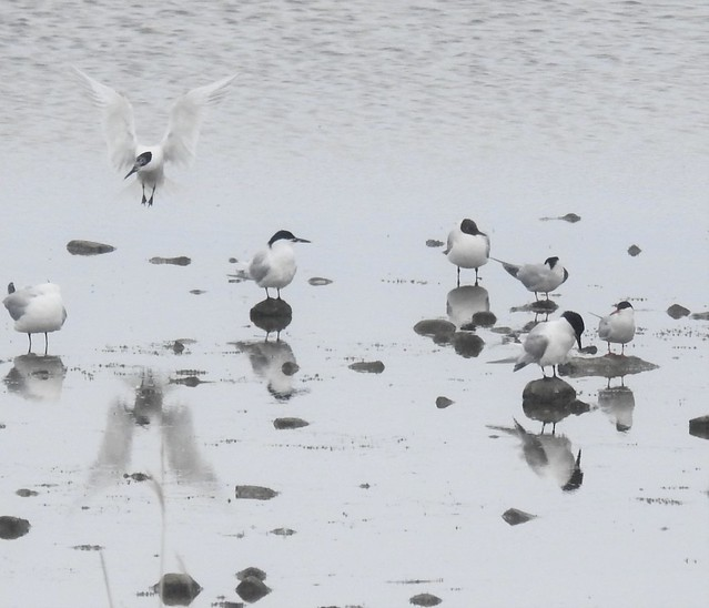 Black-Headed Gulls and Terns at East Chevington
