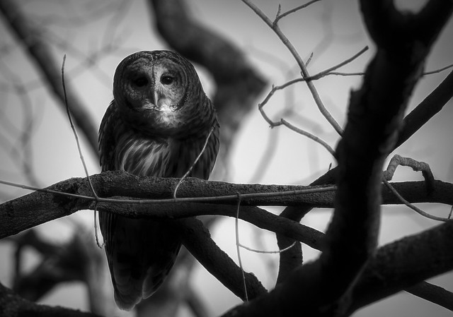 Barred Owl.....
