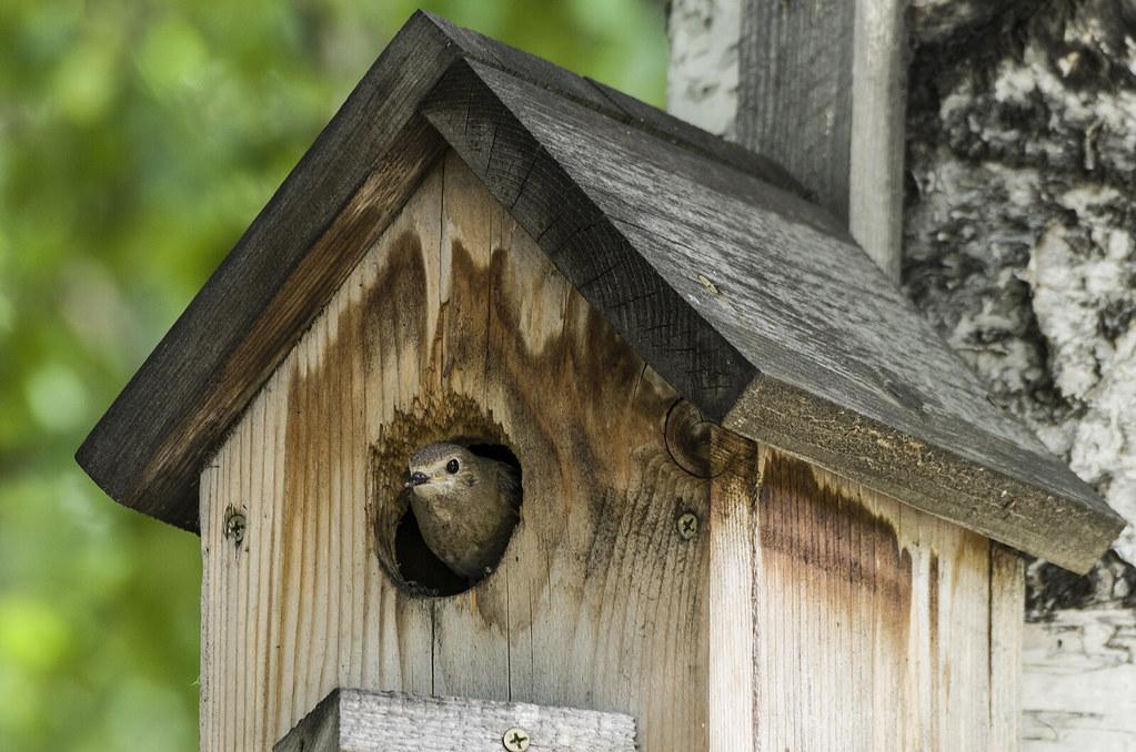 Горихвостка в домике