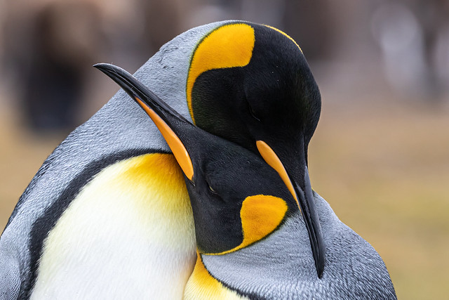 King Penguin Affection