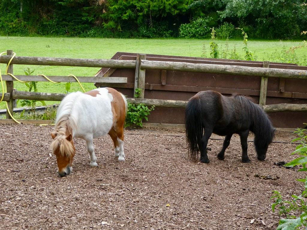 Shetland ponies Odiham