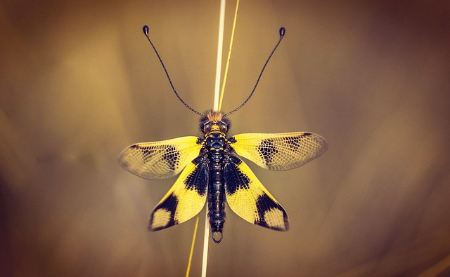 Keleti rablópille (Libelloides macaronius Male)