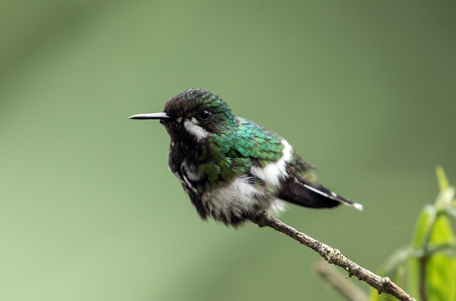 015A1797 Green Thorntail