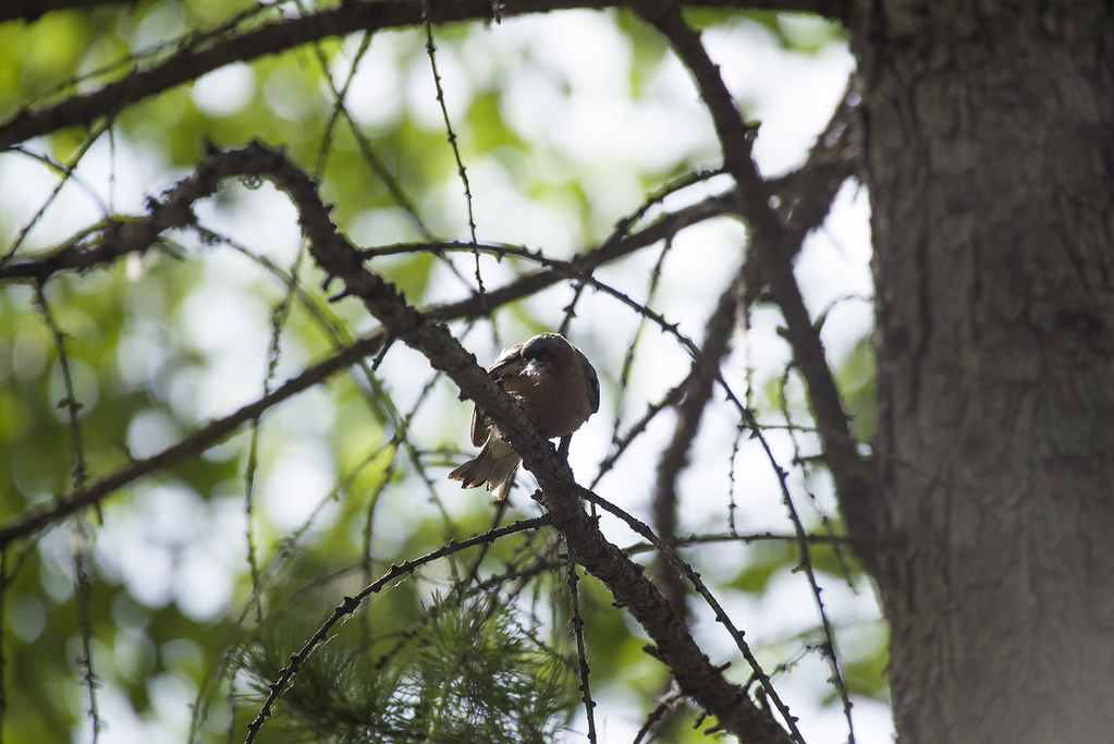 добывая пух для гнезда.