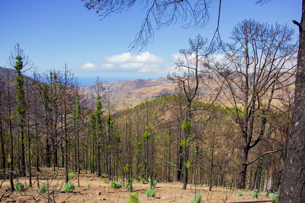 Pinos quemados en Artenara