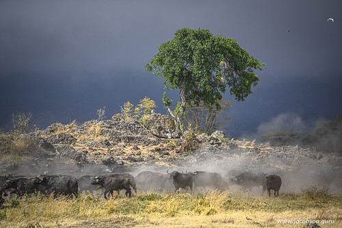 Water buffaloes raise dust as the storm rolls in