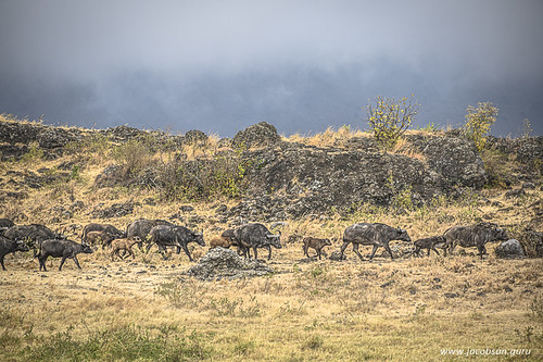 Herd of water buffaloes tries to beat the approaching storm
