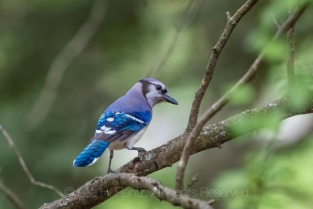 Blue Jay in Michigan