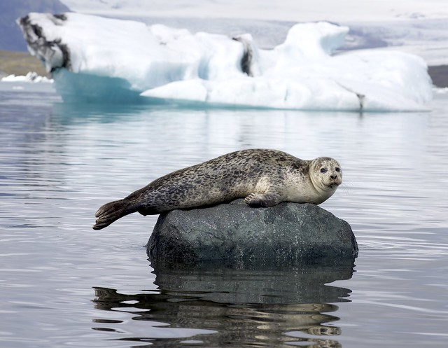A seal and a polar bear